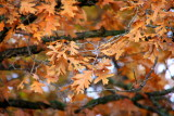 Illinois - Deer Grove Forest Preserve - Brown is a beautiful fall color, Fall Colors