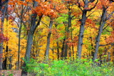 Fall Colors, Illinois - Morton Arboretum - East Loop Trail