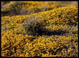 Seaside carpets of flowers