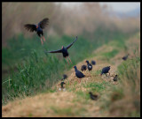 Purple Swamp-hens - Living in the reed but feeding in the fields (not popular by farmers)