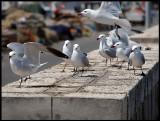 Audouin`s Gulls in Sant Carles de la Rapita