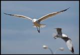 Audouin`s Gulls