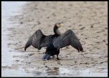 Cormorant drying wings on the river bed