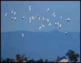 Whiskered Terns