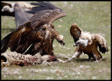 Black + Griffon Vulture