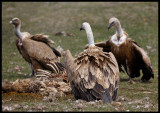Griffon Vultures - not much left of the sheep now