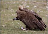 Black Vulture protecting his food