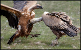 Griffon Vulture wrestling 1