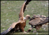 Griffon Vulture wrestling 3 - admit you are STUCK!!
