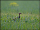 The great attraction - a female Little Bustard