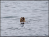 Otter fishing near the ferry termianl at Unst