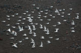 Terns at lavabeach outside Mosteiros