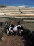 Walking the cows in Cabo da Praia