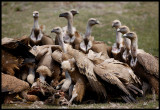 Griffon Vultures eating on dead sheep