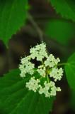 Maple-leaf viburnum 1282