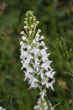 White-fringed Orchis