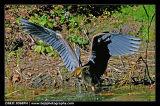 Avian 5 - Heron and bull frog