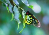 Green Red Gold Butterfly.jpg
