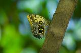 Golden Eye Butterfly2.jpg