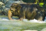 Elephant Splashing in Water.jpg