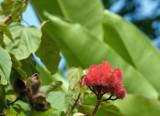 Lipstick Plant - Immature Seed Pod