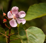 Lipstick Plant - Flower