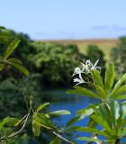 Plumeria and Lake