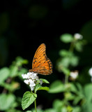 Agraulis vanillae - Gulf Fritillary