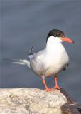Caspin Tern