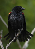Redwing black bird