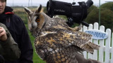 Long-eared Owl ( Hornuggla )