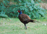 Common Pheasant ( Fasan )