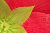 7/12/08 - Hibiscus Close-up