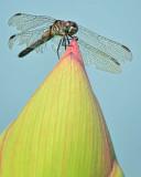 7/13/08 - Dragonfly & Lotus