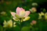 7/17/08 - Lotus Garden (& Bee)