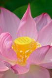 7/18/08 - Lotus