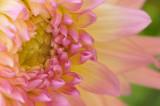 7/30/08 - Dahlia Closeup