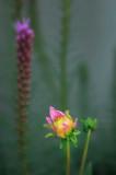 7/3/08 - Dahlia Bud