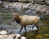 zCRW_1859 Sulking elk crosses river.jpg