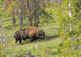 Bison in Shoshone National Forest just east of YNP - zP1050076