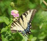 tiger swallowtail BRD1668.jpg