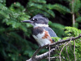 IMG_7323 Belted Kingfisher.jpg
