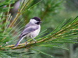 IMG_7263 Black-capped Chickadee.jpg
