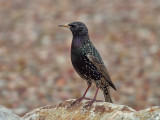 IMG_8059 European Starling.jpg