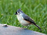 IMG_4273a Tuffted Titmouse.jpg