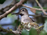 IMG_2358 Anna's Hummingbird .jpg