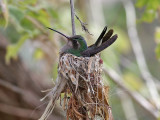 IMG_3536 Broad-billed Hummingbird.jpg