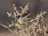IMG_9049 Lawrence's Goldfinch.jpg