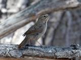 IMG_8422 Rufous-crowned  Sparrow.jpg