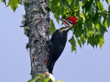 IMG_5042 Pileated Woodpecker.jpg